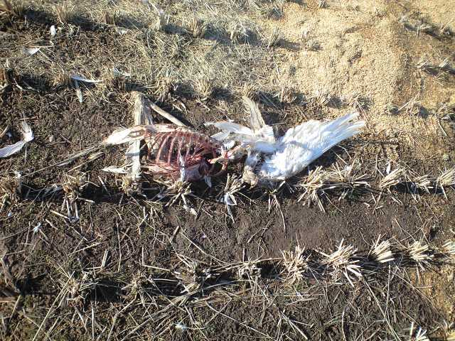 白鳥の死体