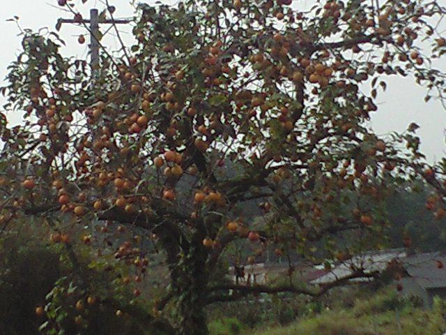 柿いっぱい