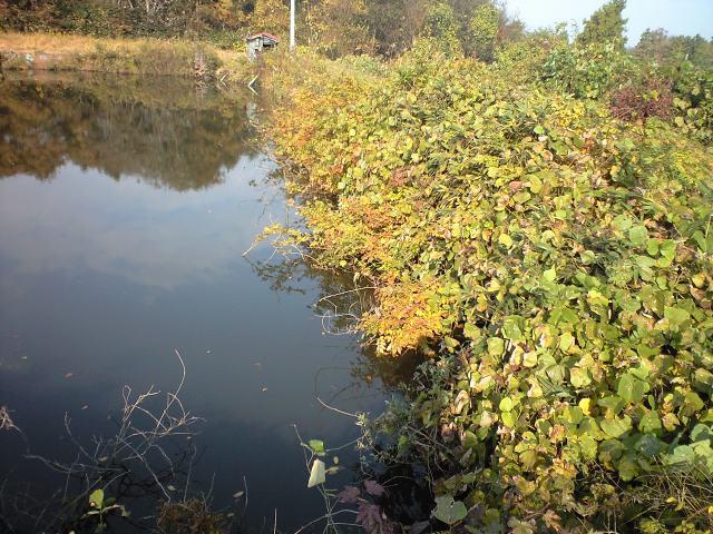 池の藤紅葉
