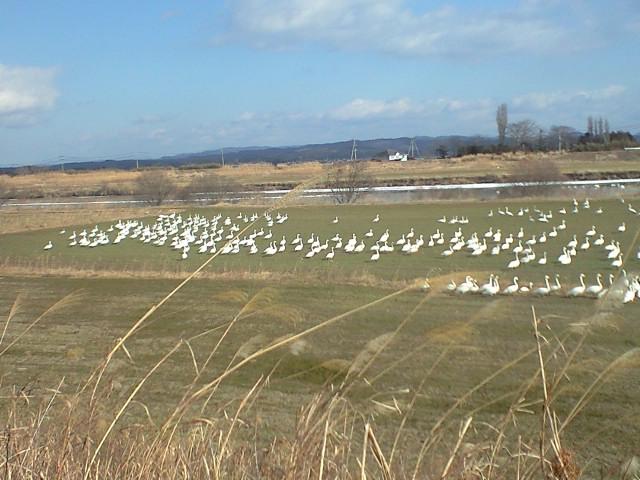牧草地に白鳥沢山
