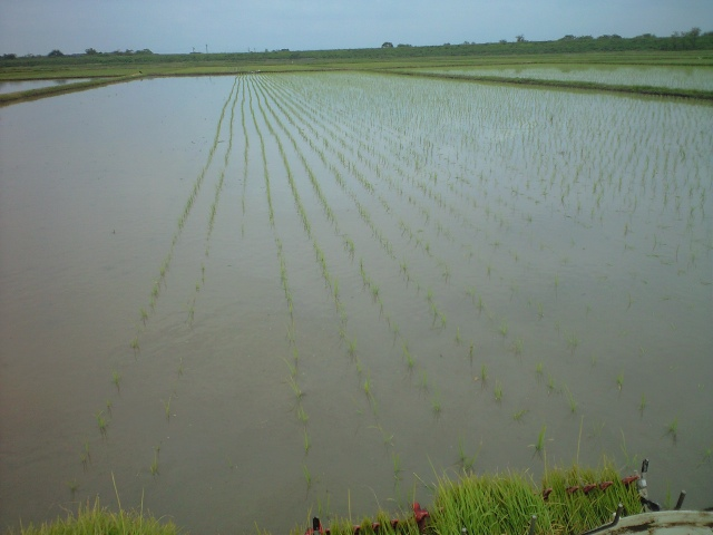 ふゆみずたんぼ田植え始まる。