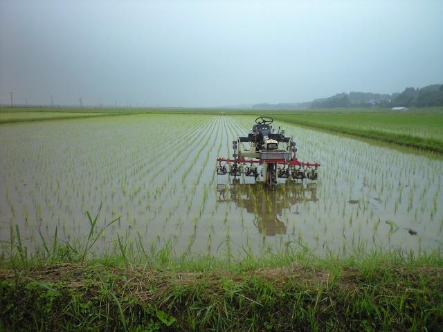 雨の中の除草